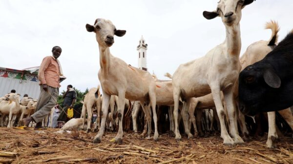 Sudan's low livestock exports won't achieve the desired economic return for the country .
